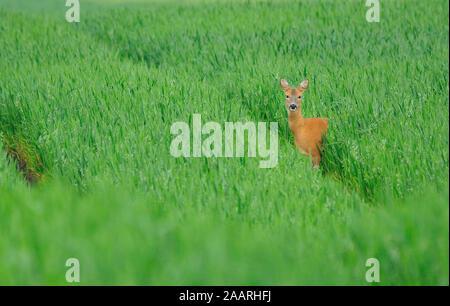 Rehbock im Feld, Roe Deer; (Capreolus capreolus); - Stock Photo