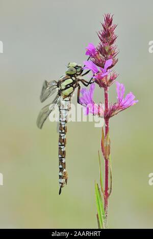 Blaugruene Mosaikjungfer; (Aeshna cyanea); - Stock Photo