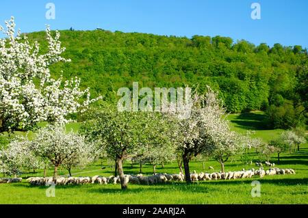 Blühende Obstbäume unter dem Langert,  Schafherde, - Stock Photo