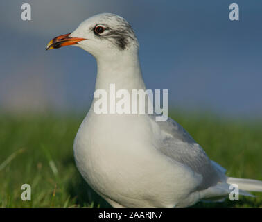 Mediterranean Gull (Larus melanocephalus) in winter plumage on a sunny day in North Yorkshire. - Stock Photo