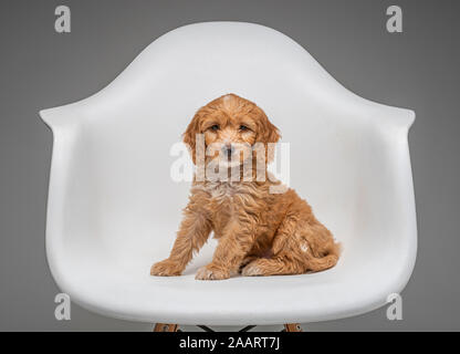 Apricot Cockapoo puppy in white Eames chair - Stock Photo