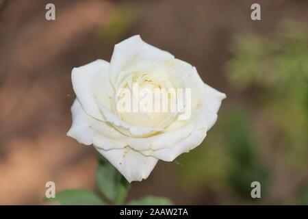 Beautiful white Rose flower background