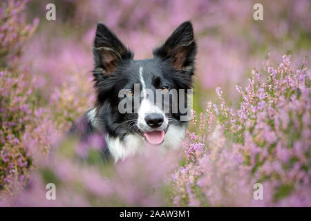 Portrait of Border Collie in flowering heather - Stock Photo