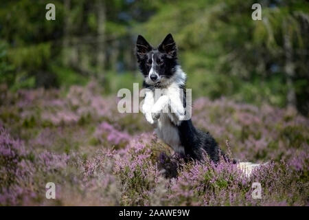 Jumping Border Collie in flowering heather - Stock Photo