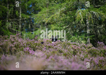 Border Collie in flowering heather - Stock Photo