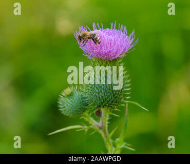 Close-up of honey bee pollinating on common thistle, Bavaria, Germany - Stock Photo