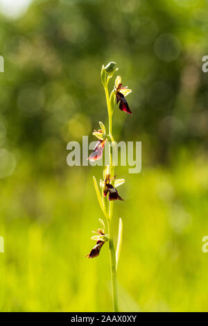 Ophrus insectifera - Fly Orhid red blossom in the forest. Flower blooming in the marshland, nature environment. - Stock Photo