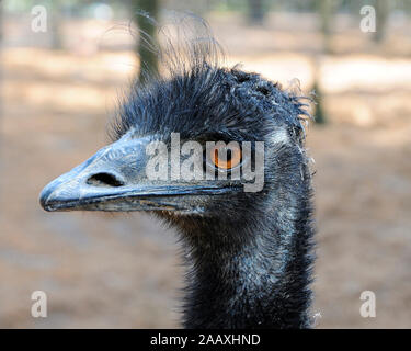 Emu bird head close-up profile view with big eyes, beak, bill, grey-brown shaggy plumage, head in its environment and surrounding. - Stock Photo