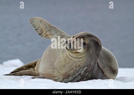 Weddelrobbe - Stock Photo