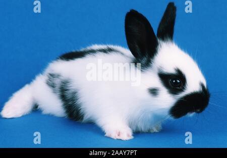 Hauskaninchen, Haus-Kaninchen (Oryctolagus cuniculus f. domestica) | domestic rabbit (Oryctolagus cuniculus f. domestica) | BLWS019672.jpg [ (c) blick - Stock Photo