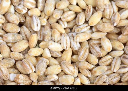 Mehrzeilige Gerste (Hordeum vulgare), Graupen, geschaelte Gersten-Koerner | common barley, six-rowed barley (Hordeum vulgare), pot barley | BLWS035012 - Stock Photo