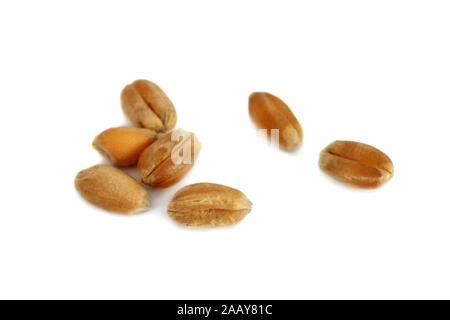 Saat-Weizen, Weich-Weizen, Weizen (Triticum aestivum), Einzelkoerner | bread wheat, cultivated wheat (Triticum aestivum), single grains | BLWS034988.j - Stock Photo