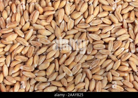 Dinkel, Spelz (Triticum spelta), Koerner | spelt wheat (Triticum spelta), grains | BLWS034999.jpg [ (c) blickwinkel/fotototo Tel. +49 (0)2302-2793220, - Stock Photo