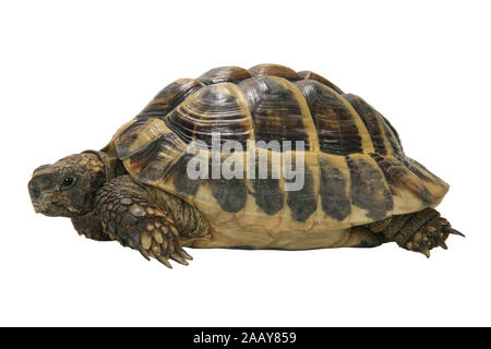 Griechische Landschildkroete, Boettgers Landschildkroete (Testudo hermanni boettgeri), Seitenansicht | Hermanns tortoise, Greek tortoise, Boettgers to - Stock Photo