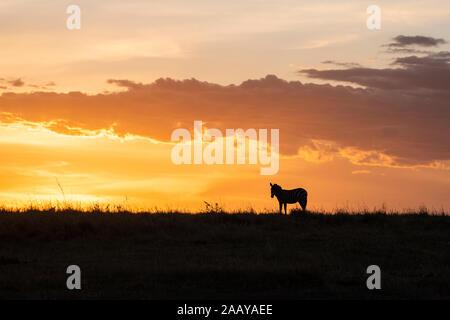 Zebras feeding on grasses at sunset in Maasai Mara during migration season, Kenya - Stock Photo