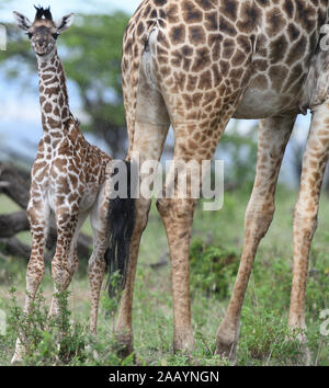 A  young Maasai giraffe  calf (Giraffa tippelskirchi, Giraffa camelopardalis tippelskirchii) stands beside its mother in the pouring rain. Serengeti N - Stock Photo