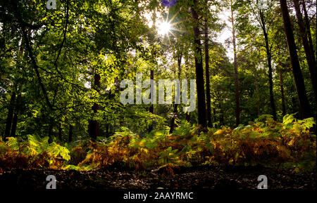 A sunny autumnal scene in The New Forest England Hampshire. As the leaves and ferns  begin to turn from green to brown the sun shines through the tree. - Stock Photo