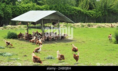 Free range brown chickens foraging in the sun and shade outside their barn in a New Zealand commercial egg operation. - Stock Photo
