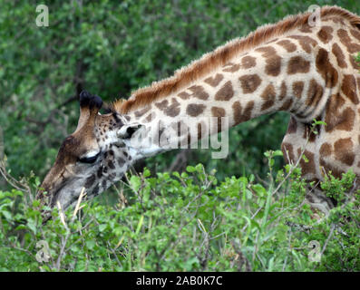 A female Maasai giraffe  (Giraffa tippelskirchi, Giraffa camelopardalis tippelskirchii) picks green leaves from the top of a thorny shrub. Serengeti N - Stock Photo