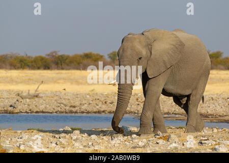 Afrikanischer Elefant am Wasserloch, Loxodonta africana, - Stock Photo