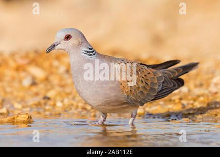 Turteltaube, Turtle Dove, European Turtle Dove, European Turtle-Dove, Streptopelia turtur, Tourterelle des bois, Tórtola Europea, Tórtola Común - Stock Photo
