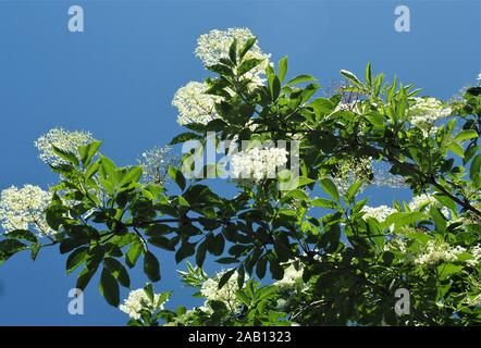 Looking up into a flowering white elderberry, Sambucus nigra, against a cloudless blue sky - Stock Photo