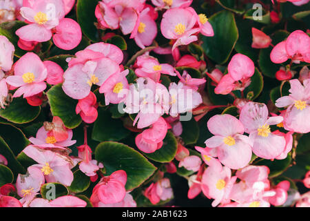 Pink wax begonia flowers - Stock Photo