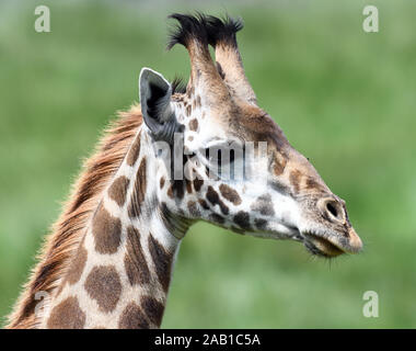 Female Masai giraffe (Giraffa camelopardalis tippelskirchii). Arusha National Park. Arusha, Tanzania. - Stock Photo