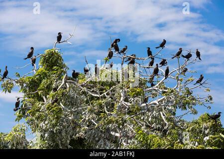 Cormorant birds of las isletas de Granada Nicaragua lake - Stock Photo