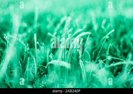 First frosts on green mint grass with beautifully falling light from the sun, late autumn. Natural background. Top view, close up. - Stock Photo