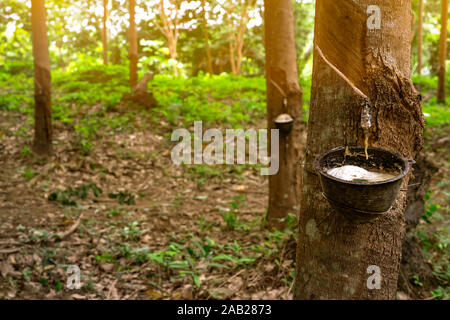 Rubber tree plantation. Rubber tapping in rubber tree garden in Thailand. Natural latex extracted from para rubber plant. Latex collect in  plastic - Stock Photo
