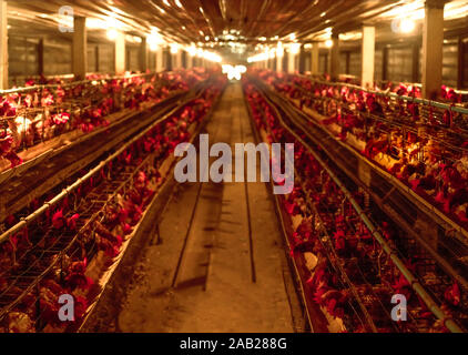 Chicken farm. Egg-laying chicken in battery cages. Commercial hens poultry farming. Layer hens livestock farm. Intensive poultry farming in close - Stock Photo