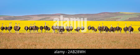 Group of ostriches along the Garden Route with yellow rapeseed fields in background, South Africa
