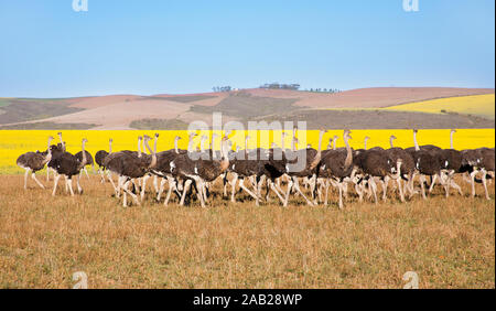 Flock of ostriches along the Garden Route with yellow rapeseed fields in background, South Africa