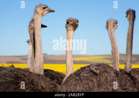 Close up of ostrich flock along the Garden Route with yellow Rapeseed fields in background, South Africa