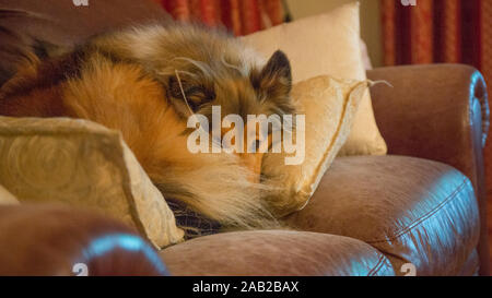 Rough coated black and sable collie sleeping on the expensive leather couch - Stock Photo