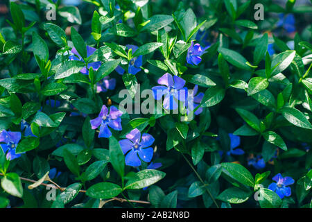 Vinca minor lesser periwinkle flowers - Stock Photo