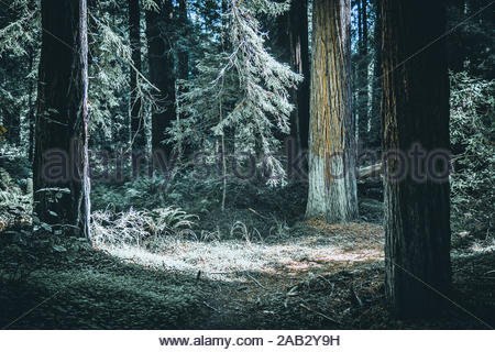 Hiking outdoor through towering redwood trees, green ferns in late afternoon sunlight in Mendocino, California, USA - Stock Photo