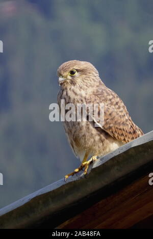 Junger Turmfalke, Falco tinnunculus - Stock Photo