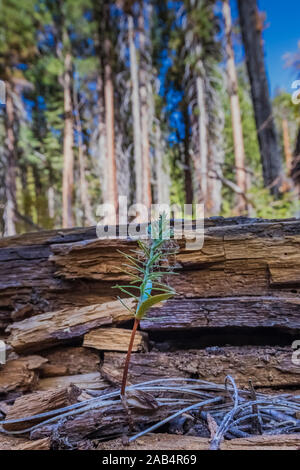 Tree seedling growint in the Cedar Grove area along Kings River in Kings Canyon National Park, California, USA - Stock Photo
