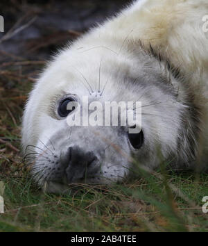 Grey seal pup (Halichoerus grypus) Donna Nook, Lincolnshire, UK - Stock Photo