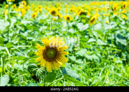 Single Sunflower in Green Field - Stock Photo
