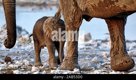 elephants, Etosha National Park, Namibia, (Loxodonta africana) - Stock Photo
