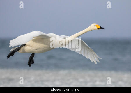 Singschwan (Cygnus cygnus) - Stock Photo