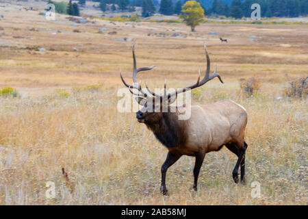 Majestic bull elk in the golden colors of autumn on a beautiful Rocky Mountain autumn evening. - Stock Photo