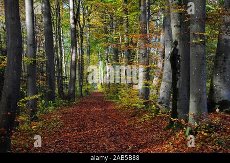 Foliage-covered forest path in autumn, in the Siebentischwald near Augsburg, Swabia, Bavaria, Germany, Europe - Stock Photo