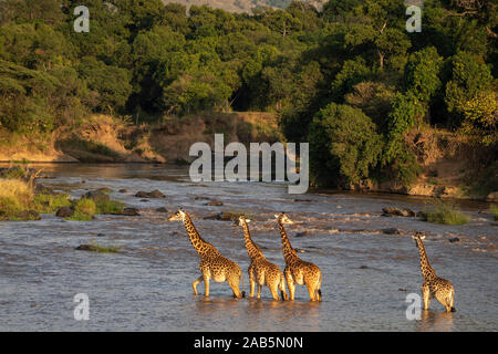 Masai (Maasai) Giraffe (Giraffa camelopardalis tippelskirchii) crossing Mara River near Kichwa Tembo in the Masai Mara in Kenya - Stock Photo
