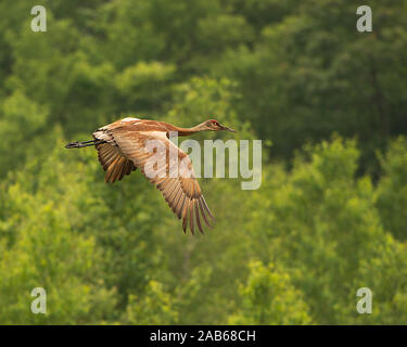 Sandhill Crane flying over trees with a bokeh background in its surrounding and environment. - Stock Photo