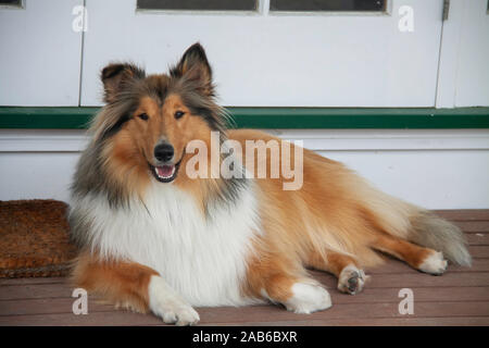 Our beautiful young pedigree rough coated black and sable collie posing on the deck - Stock Photo