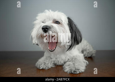 Bichon Havanese (Canis lupus familiaris) white puppy lying on a wood table. White dog yawning. Young male puppy. - Stock Photo